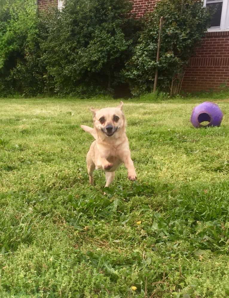 Photo of Wookie, a Chihuahua, West Highland White Terrier, Russell-type Terrier, and Mixed mix in Athens, Georgia, USA