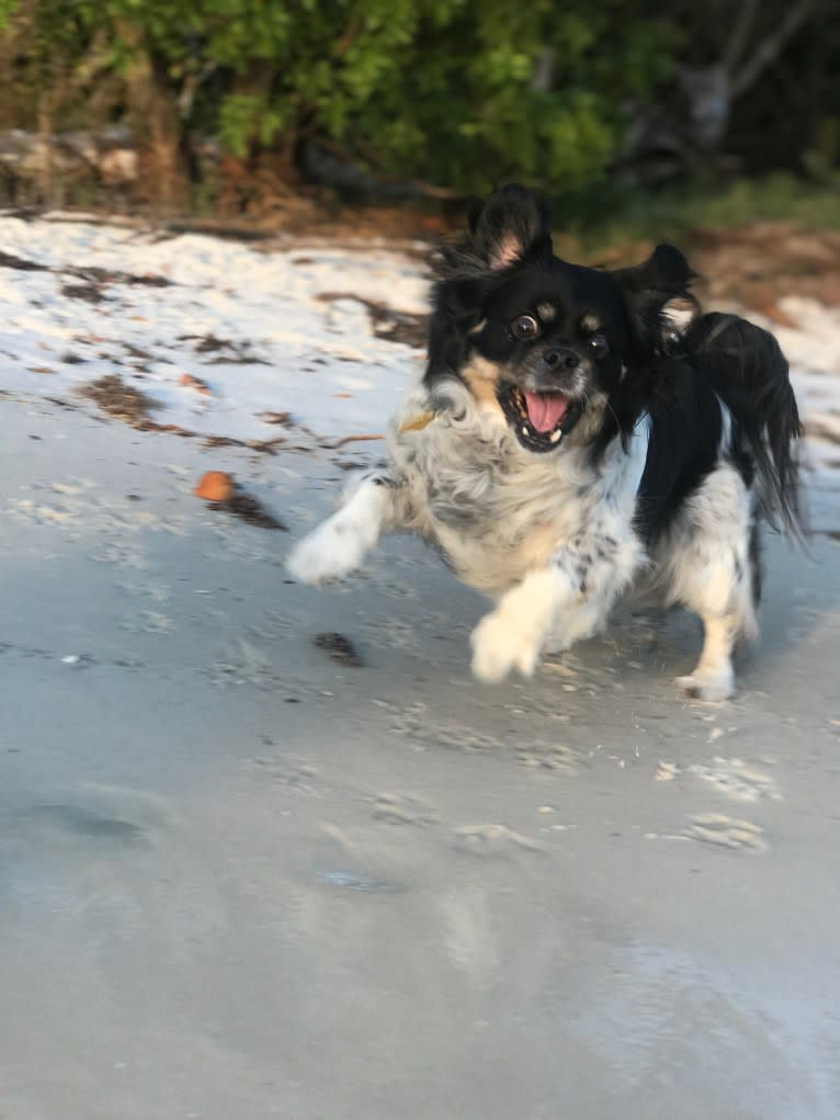 Photo of Gizmo, a Pekingese, Rat Terrier, and Chihuahua mix