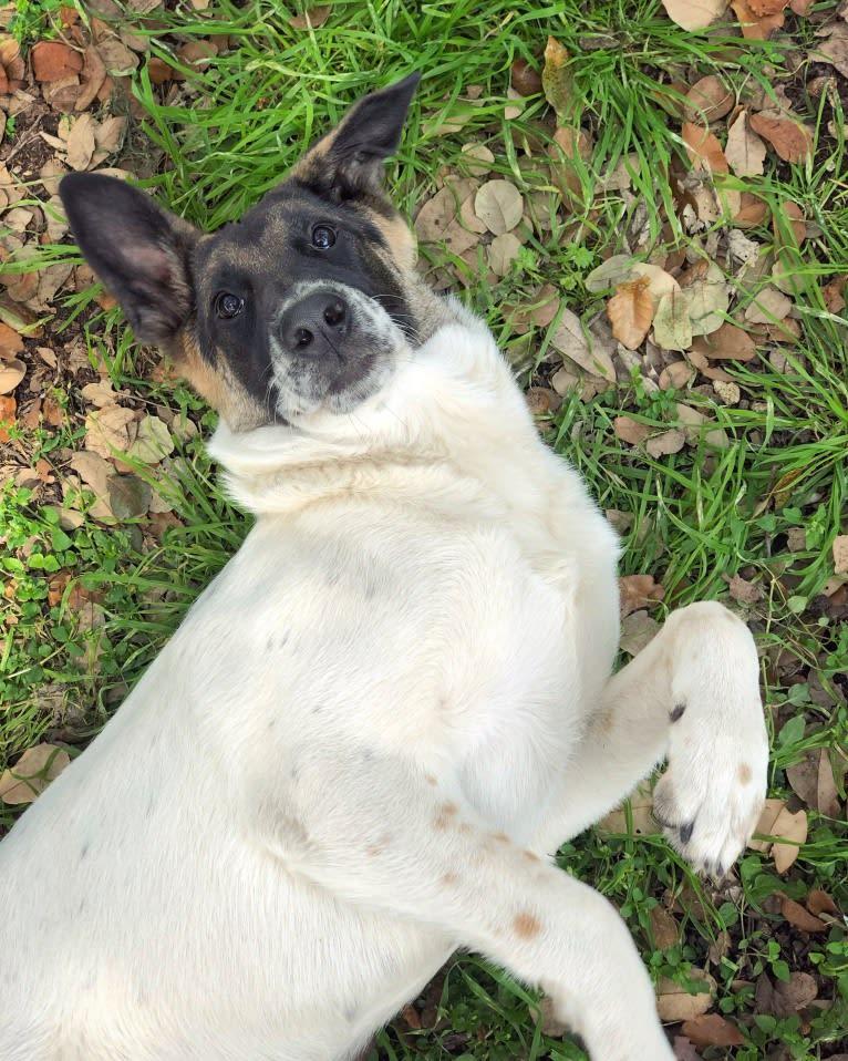 Photo of Eris, a German Shepherd Dog mix in San Antonio, Texas, USA