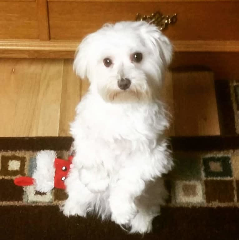 Photo of Oden, a Maltese  in Indianola, IA, USA