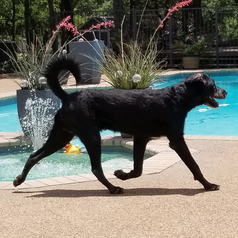 Photo of Laszlo, a Greater Swiss Mountain Dog and Poodle (Standard) mix in Fort Worth, Texas, USA