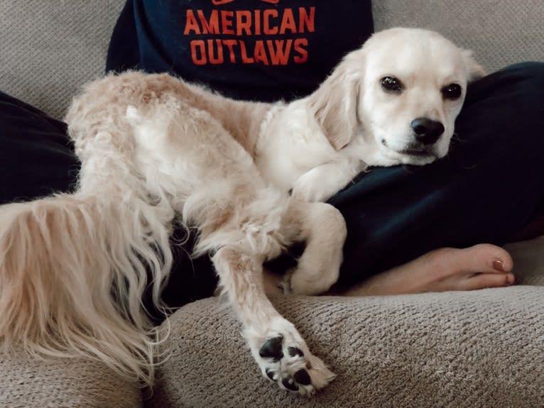 Photo of Sammy, a Cocker Spaniel, Poodle (Small), Chihuahua, Australian Cattle Dog, and Mixed mix in Yuma, Arizona, USA