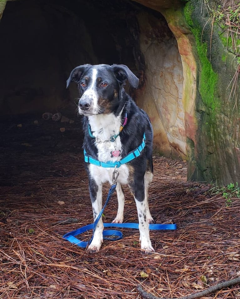Photo of Boomer, an Australian Cattle Dog, Poodle (Standard), and American Pit Bull Terrier mix in California, USA