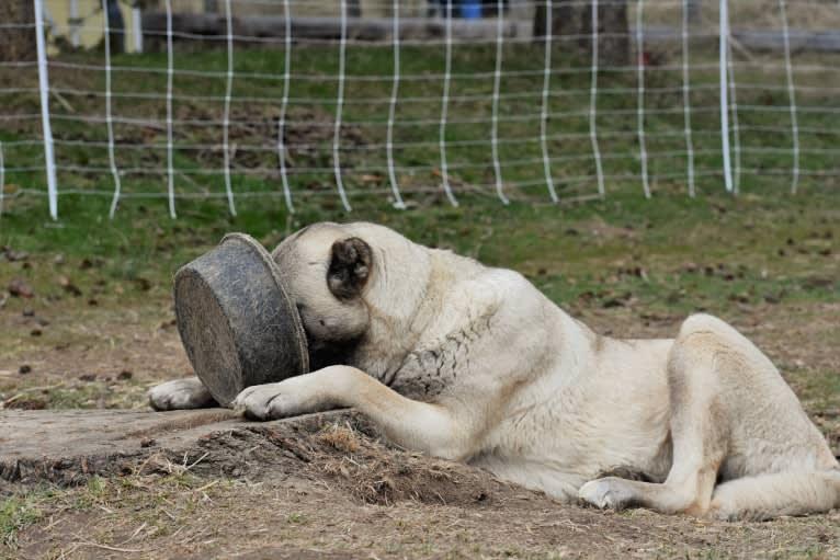 Photo of Timber, an Anatolian Shepherd Dog