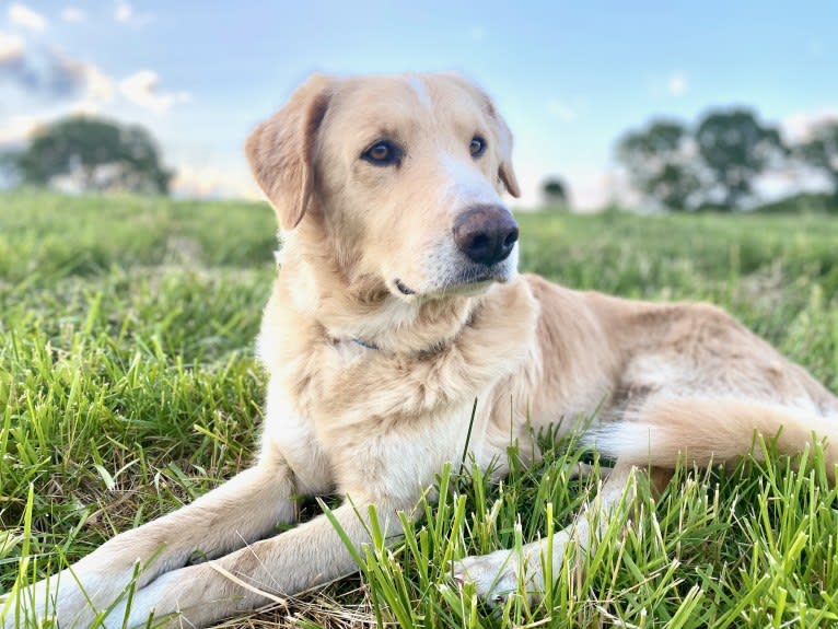 Photo of Thor, a Golden Retriever, Brittany, Siberian Husky, and Mixed mix in Arkansas, USA
