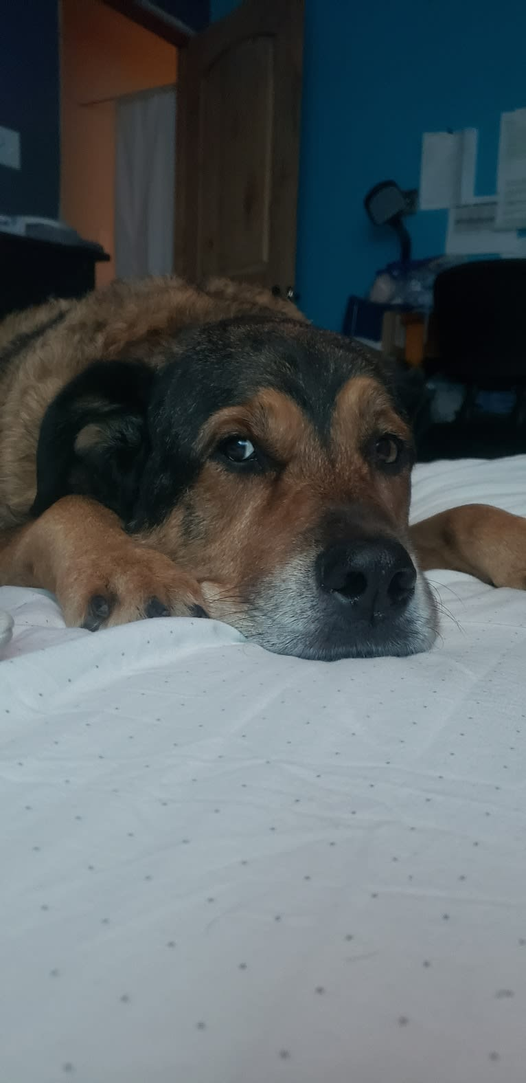 Photo of Cooper, a Great Pyrenees and Rottweiler mix in Conroe, Texas, USA