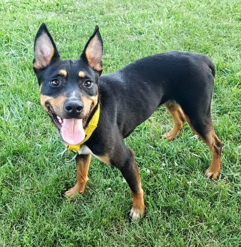 Photo of Mae AKA Drama Llama, an Australian Cattle Dog, American Pit Bull Terrier, Border Collie, and Mixed mix in Clewiston, Florida, USA