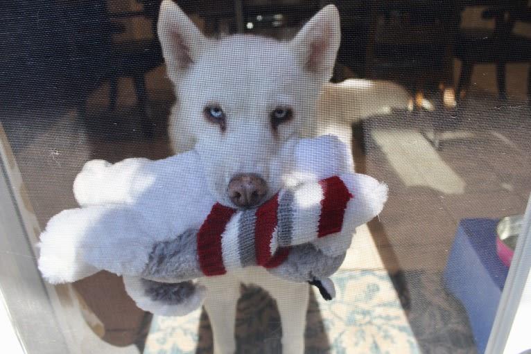 Photo of Misty, a Siberian Husky  in Pleasanton, California, USA