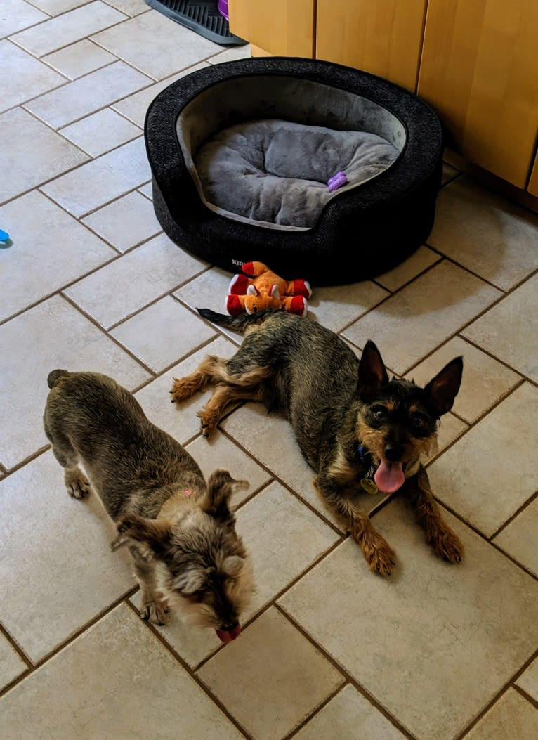 Photo of Pepe, a Miniature Pinscher, Chihuahua, Bichon Frise, and Poodle (Small) mix in Washington, District of Columbia, USA