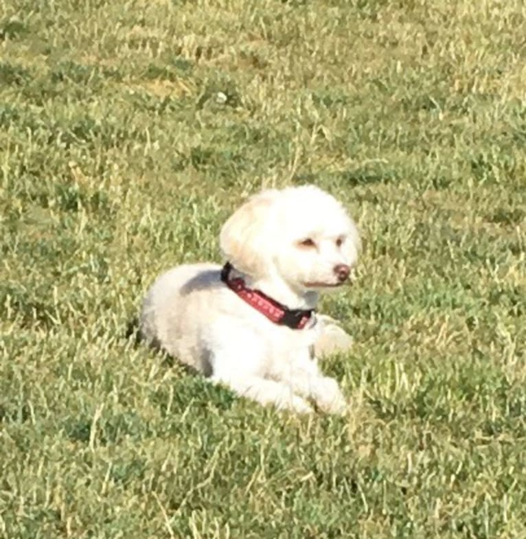 Photo of Edna, a Poodle (Small), Chihuahua, Pekingese, and Cocker Spaniel mix in California, USA
