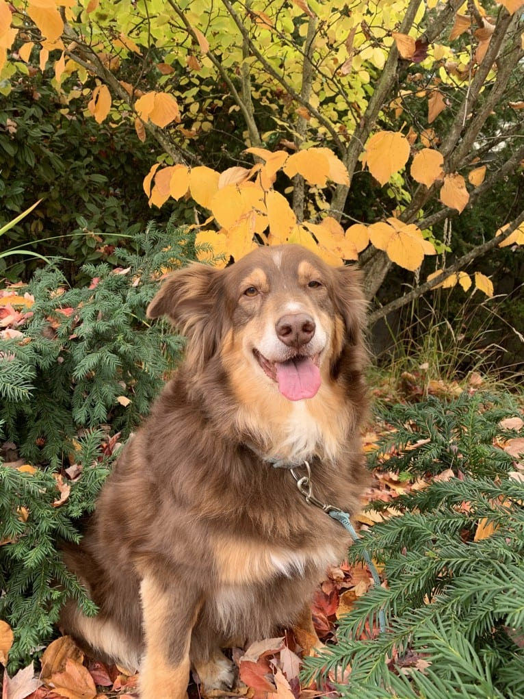 Photo of Rosie O'Doggell, an Australian Shepherd and German Shepherd Dog mix in Seattle, Washington, USA