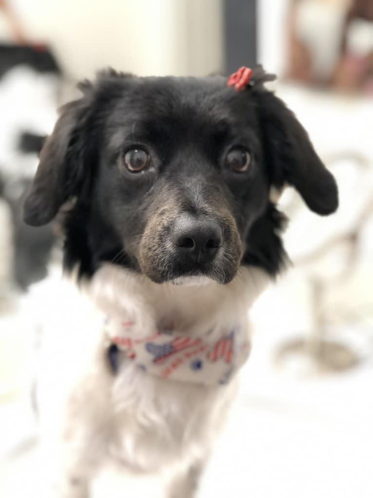 Photo of Violet Rose, a Cocker Spaniel, Poodle (Small), and Mixed mix in California, USA