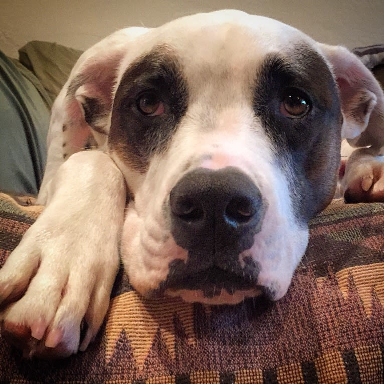Photo of Aubin, an American Bulldog, Brittany, and American Pit Bull Terrier mix in California, USA