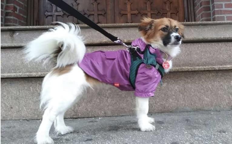 Photo of Lucy, a Shih Tzu, Cocker Spaniel, Maltese, and Mixed mix in Pocheon-si, Gyeonggi-do, South Korea