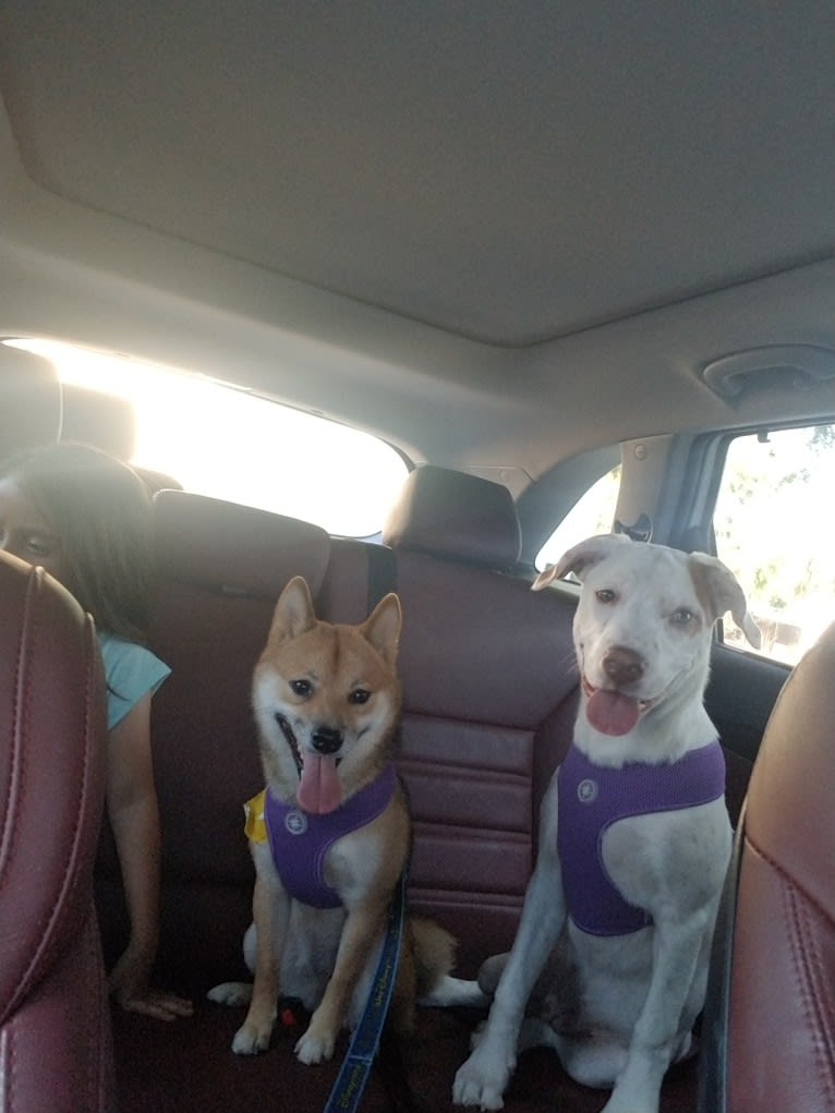 Photo of Bella, an American Pit Bull Terrier, Australian Cattle Dog, Boerboel, and Mixed mix in Tampa, Florida, USA