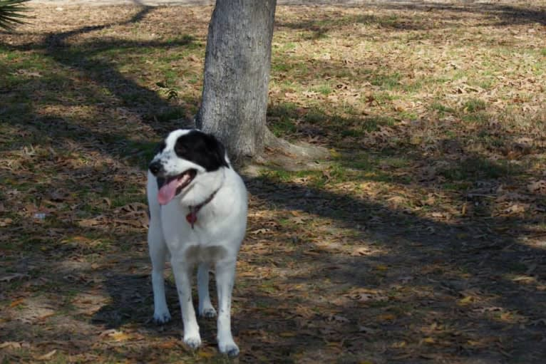 Photo of Catori, a Great Pyrenees, Border Collie, and Mixed mix in Houston, Texas, USA