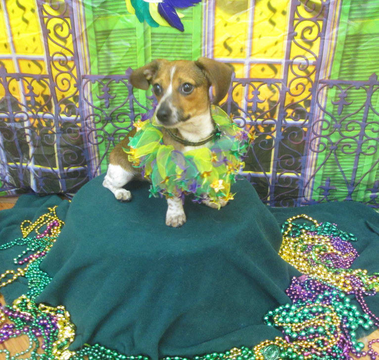Photo of Mr B, a Dachshund and Chihuahua mix in New Orleans, Louisiana, USA