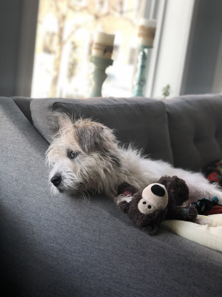Photo of Charlie, an American Pit Bull Terrier, Shih Tzu, Miniature Schnauzer, and Pomeranian mix in Chicago, Illinois, USA