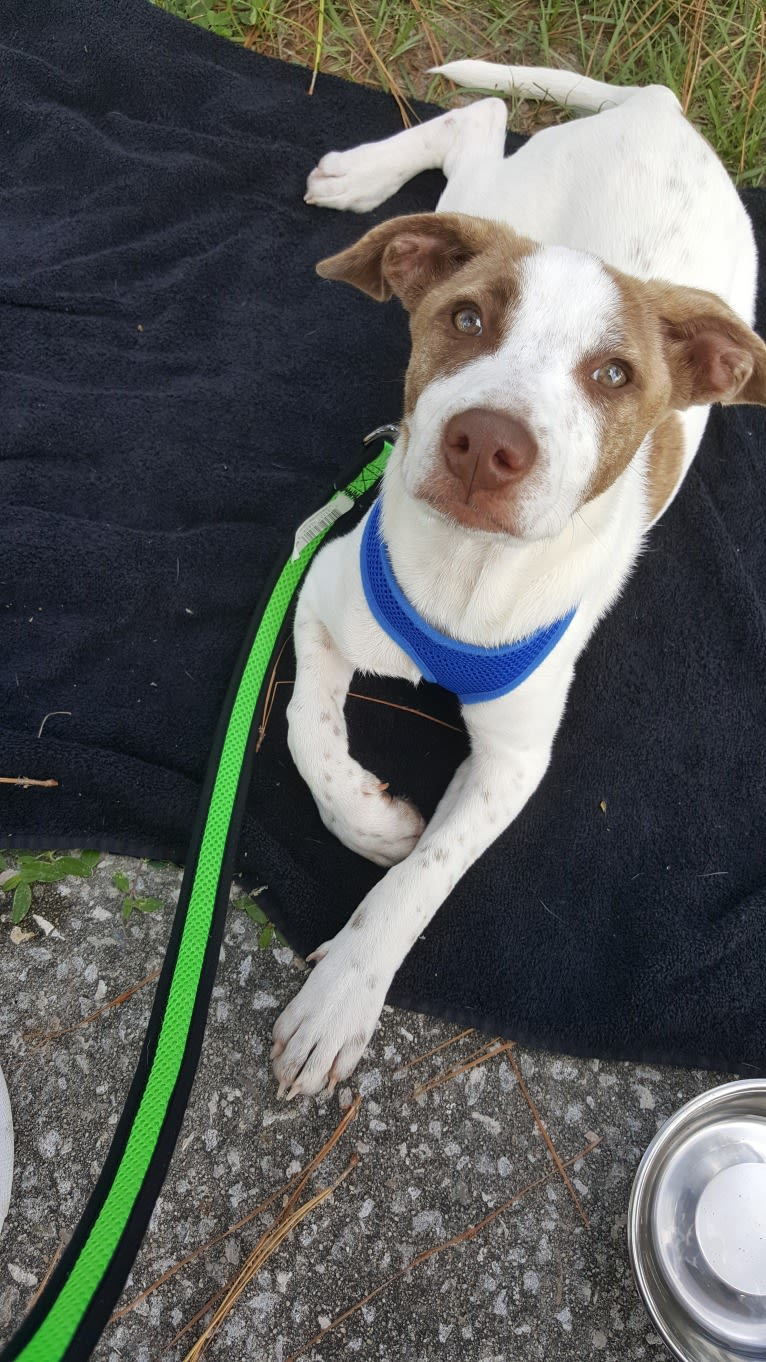 Photo of Alice Abby, an American Pit Bull Terrier, Labrador Retriever, and Mixed mix in Alabama, USA