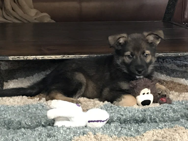 Photo of Echo, a German Shepherd Dog, Siberian Husky, Great Pyrenees, and Chow Chow mix in Houston, Texas, USA