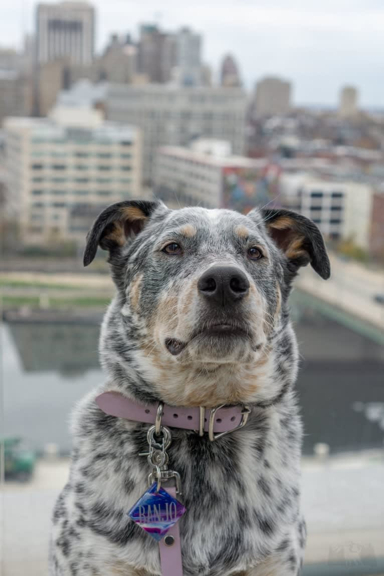 Photo of Banjo, an Australian Cattle Dog, Chow Chow, American Pit Bull Terrier, German Shepherd Dog, and Boxer mix in Alabama, USA
