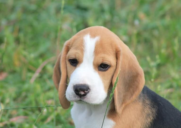 Photo of ILY, a Beagle  in Thunder Bay, ON, Canada