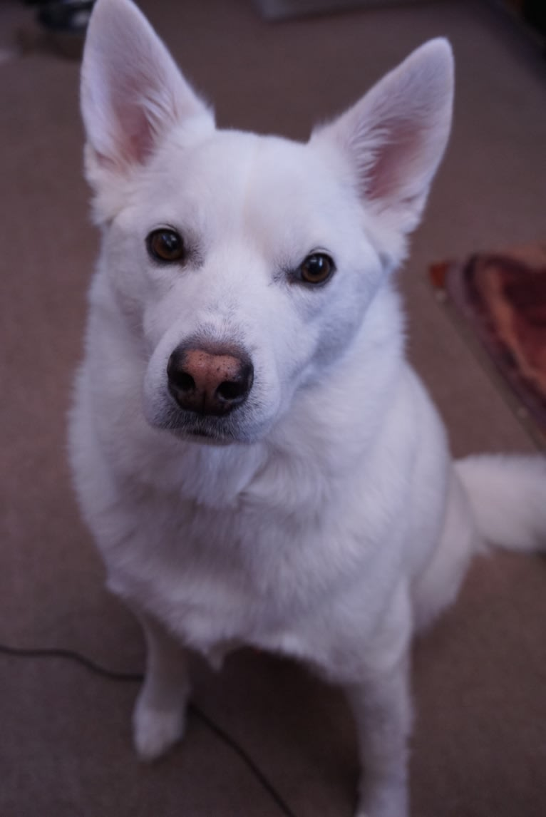 Photo of Shadow, an American Eskimo Dog mix in Colorado Springs, Colorado, USA