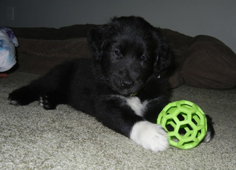 Photo of Panda, a Collie and Golden Retriever mix in Toledo, OH, USA