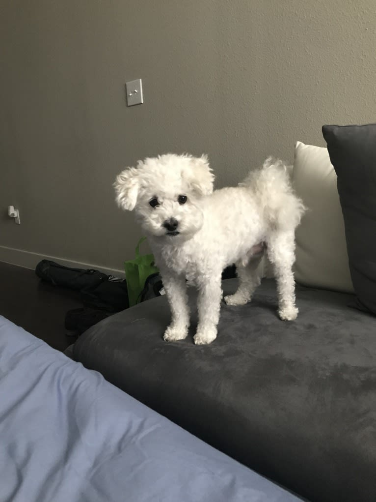 Photo of Nimbus, a Poodle (Small), Bichon Frise, and Cocker Spaniel mix in Bedford, Texas, USA