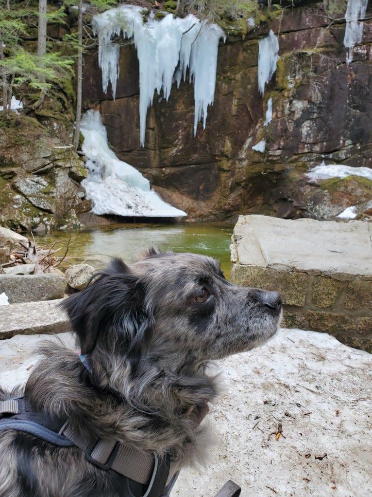 Photo of Mallatobuck, a Chihuahua, Shih Tzu, Australian Cattle Dog, Australian Shepherd, Border Collie, and American Eskimo Dog mix in Fall River, Massachusetts, USA