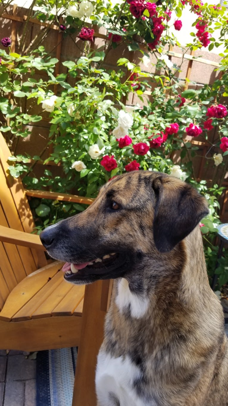 Photo of Miskin, a Middle Eastern Village Dog  in Ayvalık, Balıkesir, Turkey