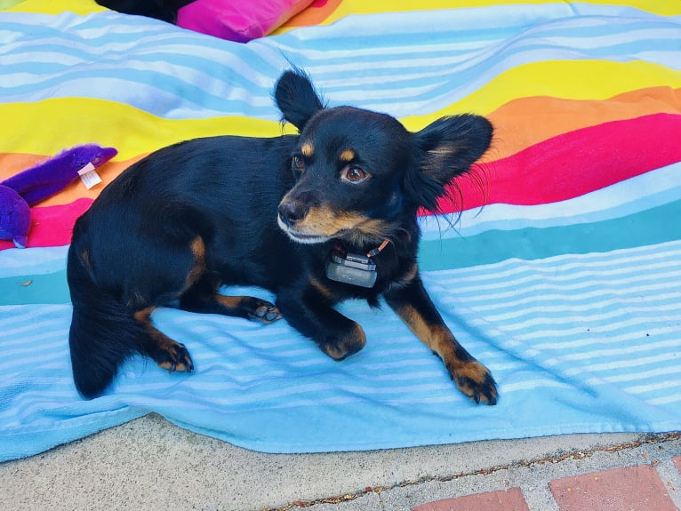 Photo of Leela, a Chihuahua, Cocker Spaniel, Volpino Italiano, Poodle (Small), and American Pit Bull Terrier mix in California, USA