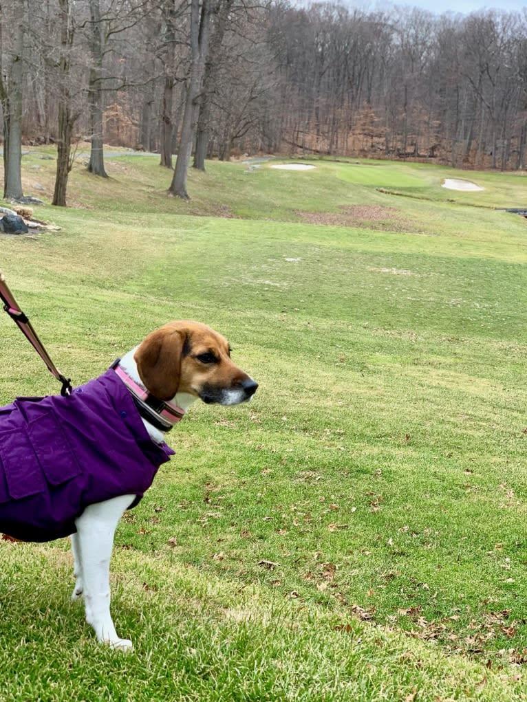 Photo of Freckles, a Beagle and German Shepherd Dog mix in Blacksburg, Virginia, USA