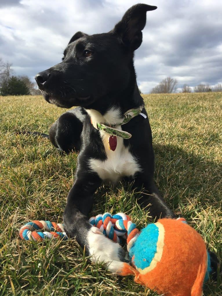 Photo of Nemo, a Staffordshire Terrier and Labrador Retriever mix