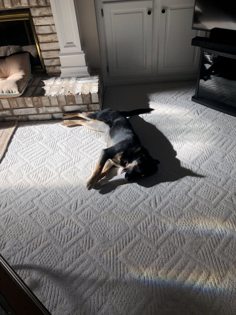 Photo of Annie, a Labrador Retriever, Siberian Husky, Boxer, and Cocker Spaniel mix in Murray County, GA, USA
