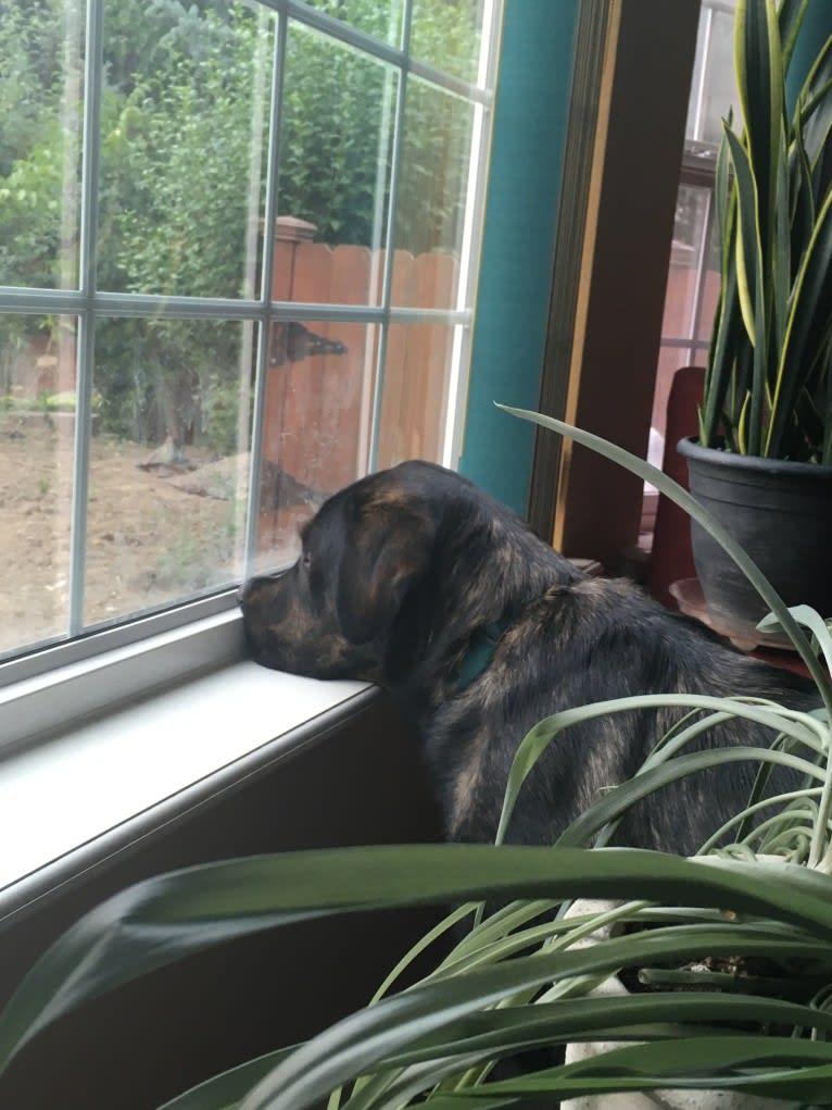 Photo of Leo, a Labrador Retriever, Golden Retriever, and Siberian Husky mix in Phoenix, Oregon, USA