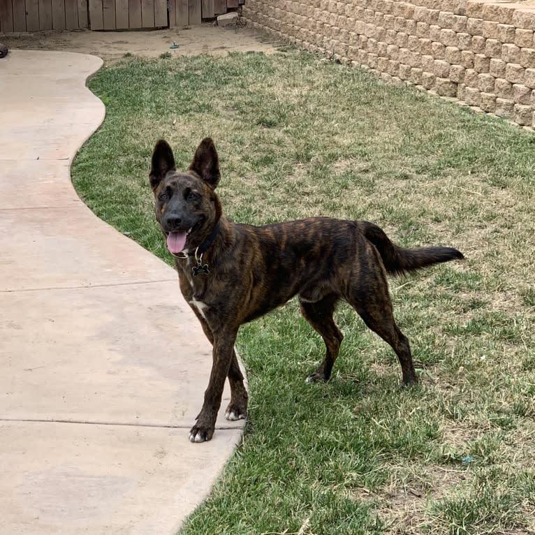 Photo of INU, an American Pit Bull Terrier, German Shepherd Dog, Labrador Retriever, and Mixed mix in San Bernardino, California, USA