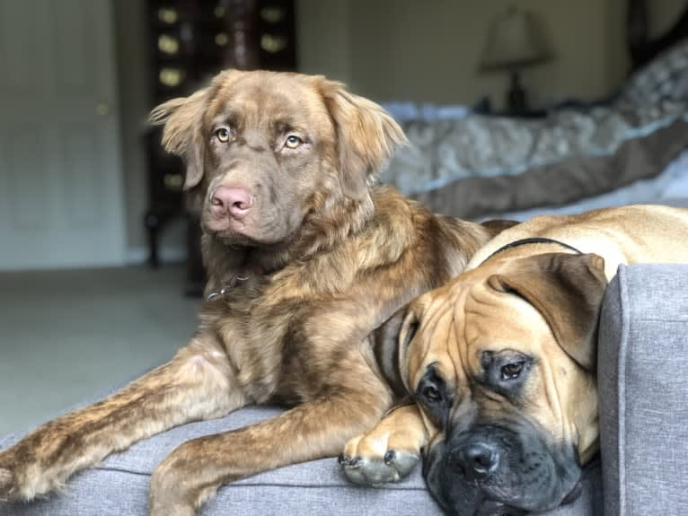 Photo of Maddie, an American Pit Bull Terrier, German Shepherd Dog, Boxer, Chow Chow, and Mixed mix in Wilmington, DE, USA