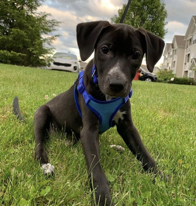 Photo of Dexter, an American Pit Bull Terrier, Treeing Walker Coonhound, Labrador Retriever, Boston Terrier, and Mixed mix in Alabama, USA