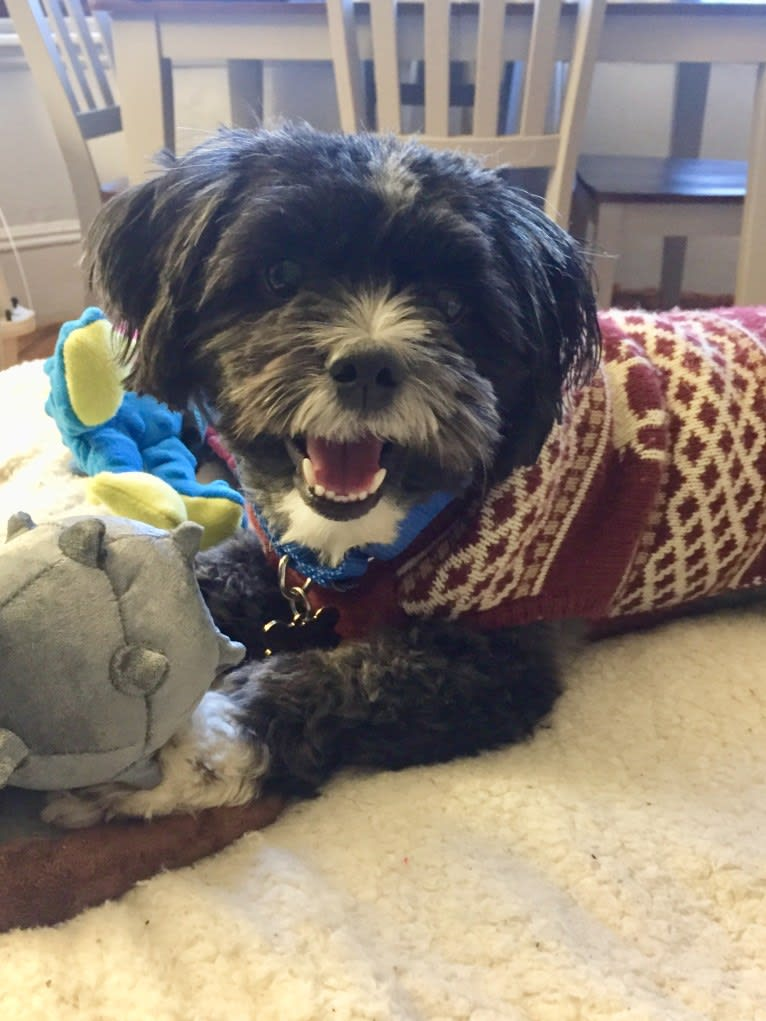 Photo of Owen, a Shih Tzu, Pomeranian, Poodle (Small), and Lhasa Apso mix