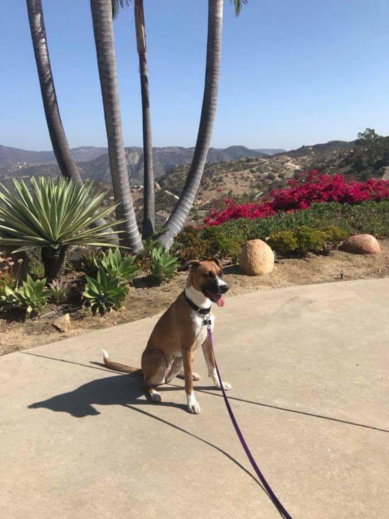 Photo of Ripley, a Boxer, German Shepherd Dog, and Dalmatian mix in Fallbrook, California, USA
