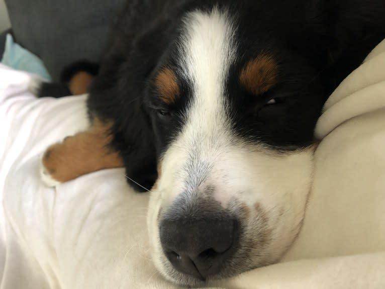 Photo of Penny, a Bernese Mountain Dog  in Hillsboro, Ohio, USA