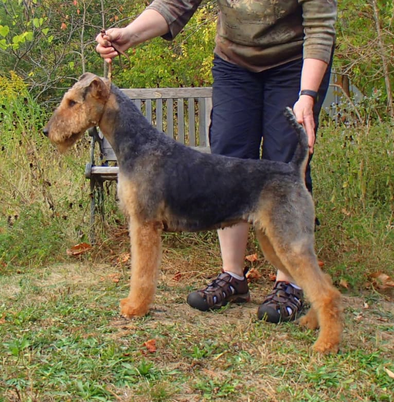 Photo of Reyme, an Airedale Terrier  in Ohio, USA