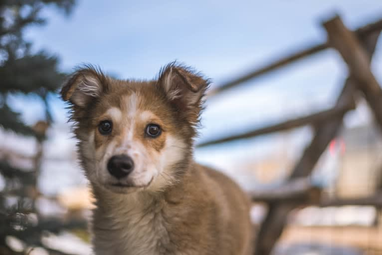 Photo of Indy, an Australian Shepherd, Border Collie, Great Pyrenees, and American Pit Bull Terrier mix in Hanna, Utah, USA