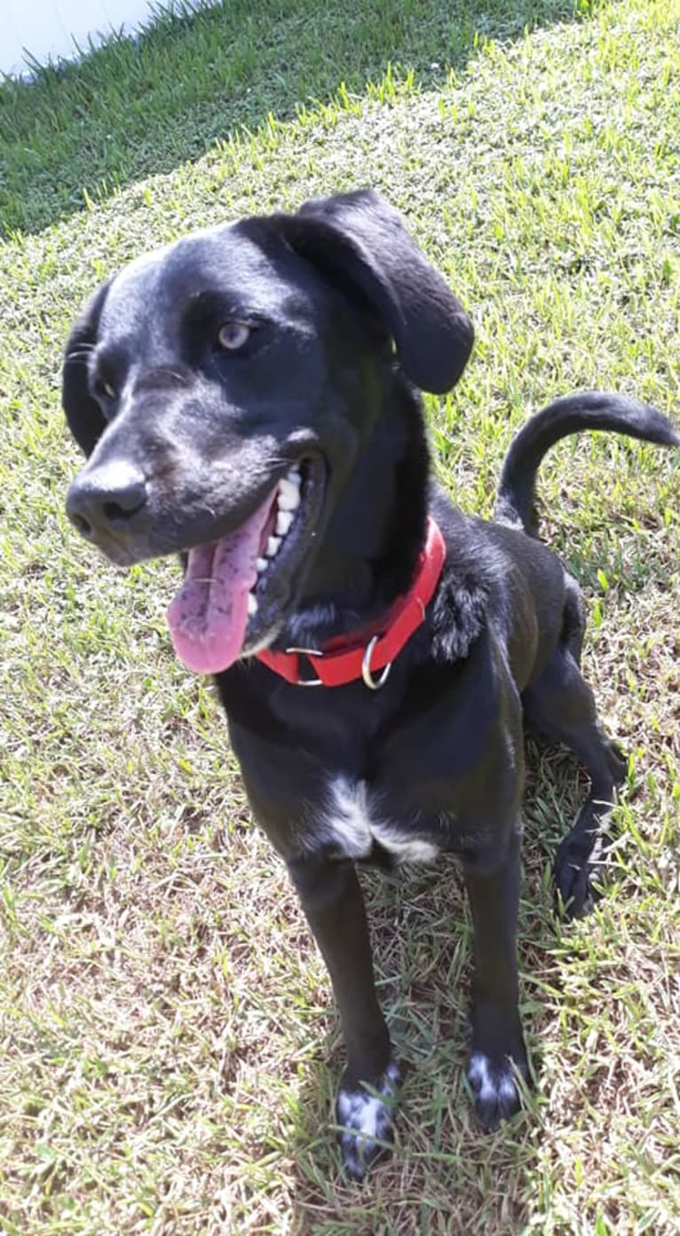Photo of christal, a Golden Retriever, Australian Cattle Dog, and Mixed mix in Orlando, Florida, USA