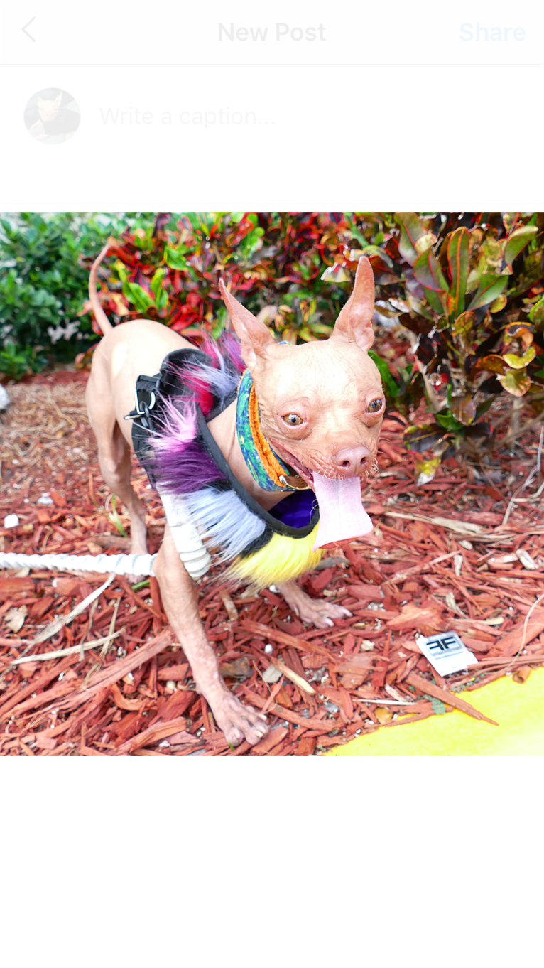 Photo of Shaggy The Hairless, a Chihuahua  in Coral Gables, Florida, USA
