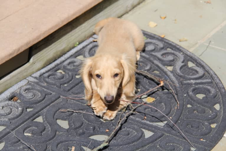 Photo of Oliver (Ollie) von Frederick, a Dachshund  in Durham, NC, USA