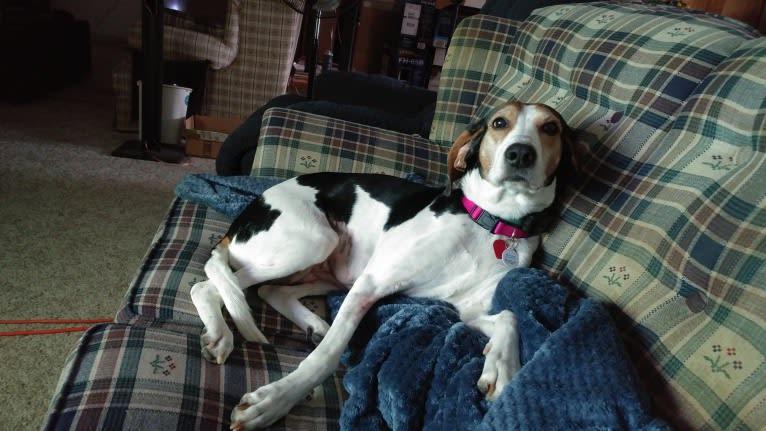 Photo of Zoe Lynne, an American Foxhound  in Grandville, Michigan, USA