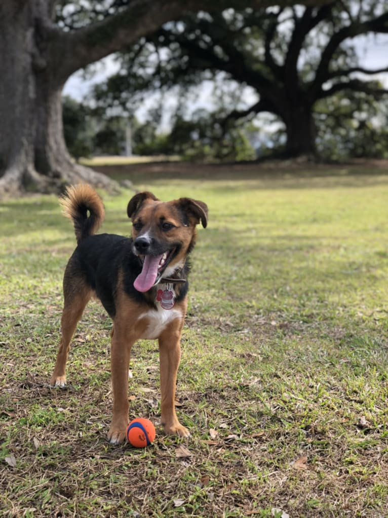 Photo of Adrian, a German Shepherd Dog, Poodle (Small), and Mixed mix
