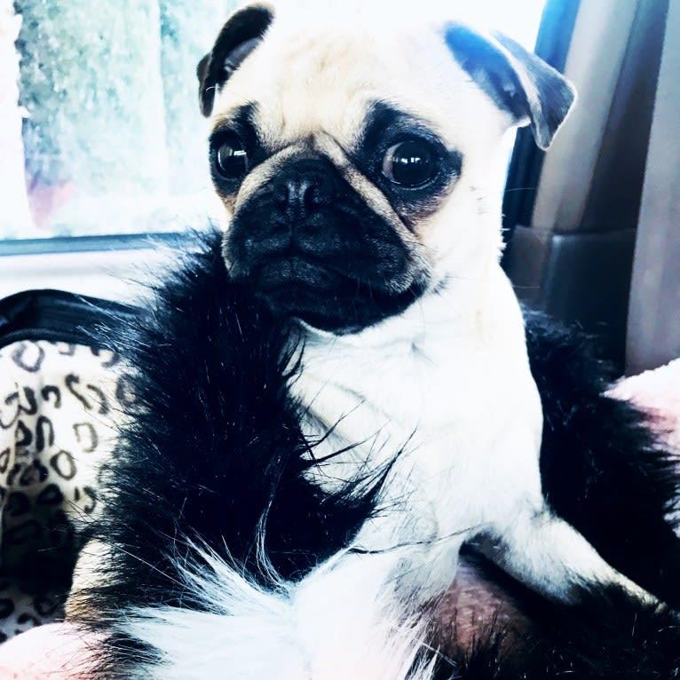 Photo of Penny Lane, a Pug  in Las Vegas, Nevada, USA